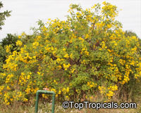 Senna bicapsularis, Cassia bicapsularis, Cassia sennoides, Butterfly Cassia, Butterfly Bush, Winter Cassia