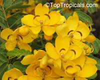 Cassia (Senna) bicapsularis - Butterfly Bush  Click to see full-size image