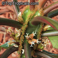 Euphorbia leuconeura, Madagascar Jewel  Click to see full-size image