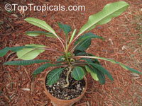 Euphorbia leuconeura - Madagascar Jewel  Click to see full-size image