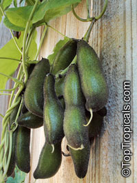 Mucuna pruriens - seeds  Click to see full-size image
