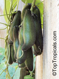 Mucuna pruriens, Carpopogon pruriens, Dolichos pruriens, Mucuna aterrima, Nescafe, Cowitch, Velvet Bean, Purple Jade Vine  Click to see full-size image