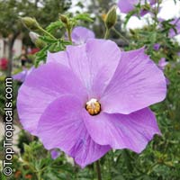 Alyogyne huegelii - Blue Hibiscus  Click to see full-size image
