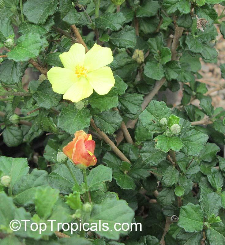 Pavonia Praemorsa Yellow Mallow Toptropicals Com
