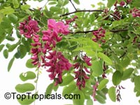 Robinia sp., LocustClick to see full-size image