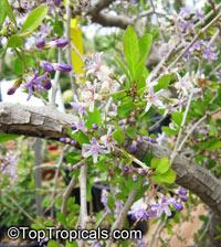 Ehretia rigida, Puzzle Bush  Click to see full-size image