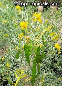 Senna artemisioides subsp. artemisioides, Dense senna, Grey Desert Senna  Click to see full-size image
