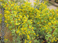 Senna oliogophylla, Outback Cassia  Click to see full-size image