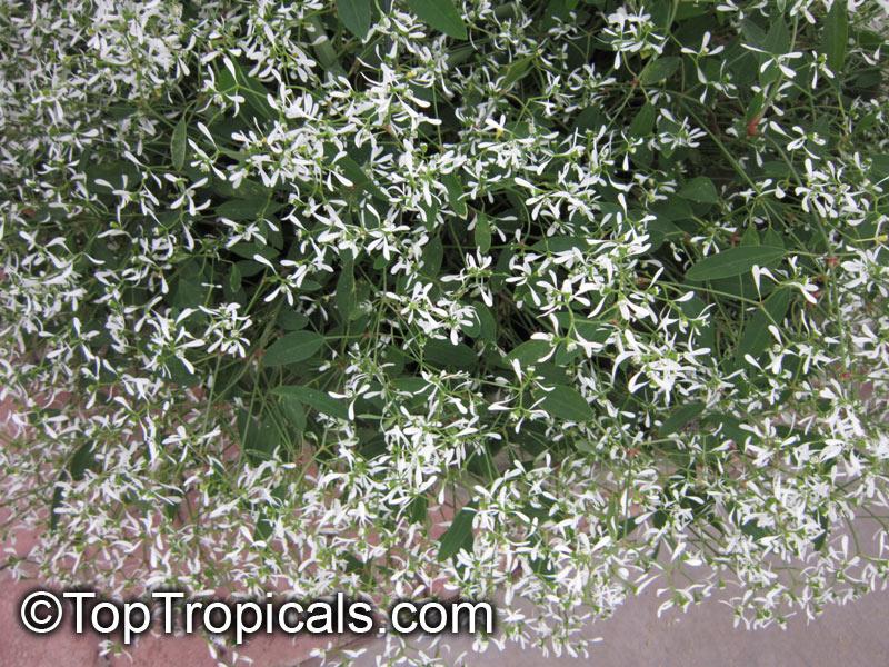 euphorbia hypericifolia inneuphdia diamond frost stardust white sparkle. Black Bedroom Furniture Sets. Home Design Ideas