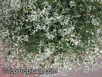 Euphorbia hypericifolia Inneuphdia, Diamond Frost, Stardust White Sparkle  Click to see full-size image