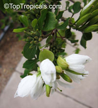 Bauhinia lunarioides, Bauhinia congesta, Casparea congesta, Anacacho Orchid Tree, Texas Plume  Click to see full-size image