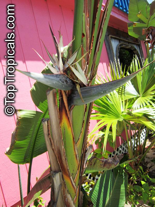 Strelitzia Nicolai Giant Bird Of Paradise White Click To See Full
