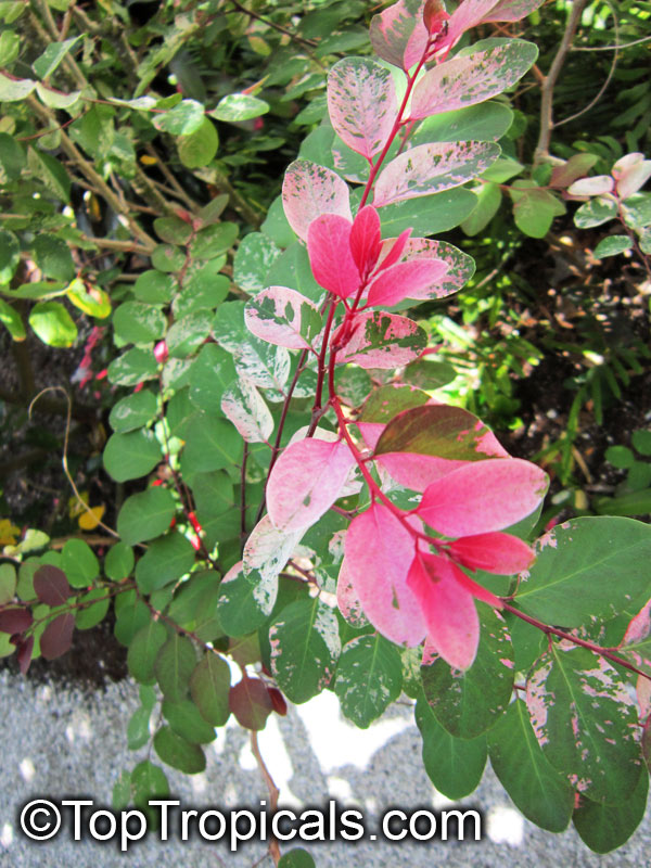 Red And Green Leaf Bush