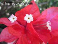 Bougainvillea sp., Bougainvillea  Click to see full-size image