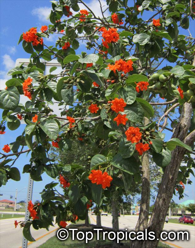 Cordia sebestena, Geiger Tree, Scarlet Cordia, Aloe Wood ...