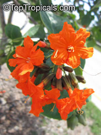 Cordia sebestena, Geiger Tree, Scarlet Cordia, Aloe Wood  Click to see full-size image