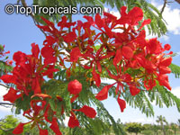 Delonix regia, Poinciana regia, Flame tree, Flamboyant, Royal poinciana, Gul Mohr, Peacock Flower
