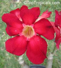 Adenium hybrid (single flower), Desert Rose, Impala Lily, Adenium hybridsClick to see full-size image