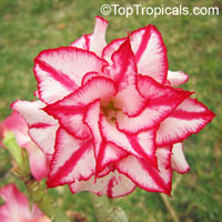 Adenium Classic, Grafted  Click to see full-size image