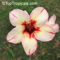Adenium Prakry Dao, Grafted  Click to see full-size image