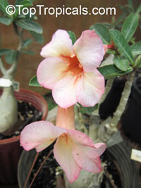 Adenium Nok (Peach), Grafted