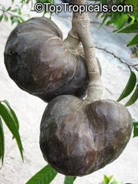 Annona reticulata - seeds  Click to see full-size image