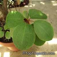 Blakea sp., Blakea  Click to see full-size image