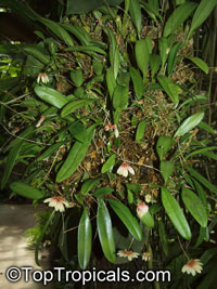 Bulbophyllum sp., Bulbophyllum  Click to see full-size image