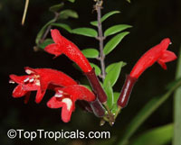 Aeschynanthus sp., Lipstick Plant, Lipstick Vine  Click to see full-size image