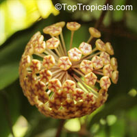 Hoya sp., Wax Flower  Click to see full-size image