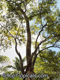 Caesalpinia ferrea, Brazilian Ironwood, Leopard Tree  Click to see full-size image