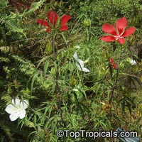 Hibiscus coccineus, Scarlet Hibiscus, Scarlet Rose Mallow, Swamp Hibiscus  Click to see full-size image