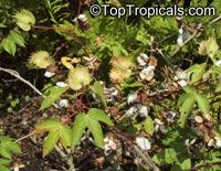 Gossypium hirsutum, Gossypium mexicanum , Upland Cotton, Mexican Cotton  Click to see full-size image
