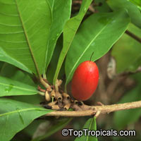 Synsepalum subcordatum, Giant Miracle Fruit  Click to see full-size image