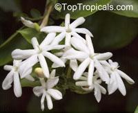 Jasminum molle, Jasminum auriculatum, Jasminum Molle, Indian Jui  Click to see full-size image