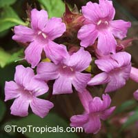 Suessenguthia (Ruellia) multisetosa - Columbian petunia  Click to see full-size image