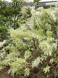 Iboza riparia, Tetradenia riparia, Musk Bush, Misty Plume Bush, Ginger Bush, Gemmerbos, WatersalieClick to see full-size image