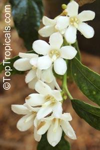 Mitriostigma axillare, Gardenia citriodora, African Gardenia  Click to see full-size image