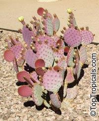 Opuntia macrocentra, Opuntia santa-rita, Opuntia violacea var. santa-rita, Santa Rita Prickly Pear  Click to see full-size image