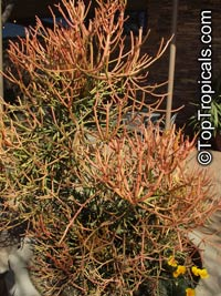 Euphorbia tirucalli - Pencil Tree, Fire Fingers  Click to see full-size image