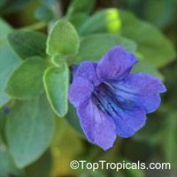 Ruellia peninsularis, Desert Ruellia  Click to see full-size image