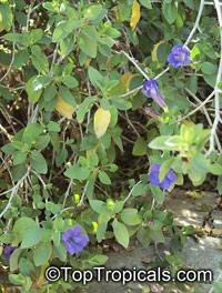 Ruellia peninsularis, Desert RuelliaClick to see full-size image