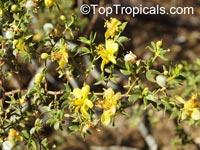 Larrea tridentata, Creosote Bush  Click to see full-size image