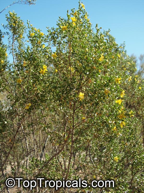 Larrea Tridentata Creosote Bush Toptropicals Com