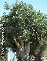 Ficus palmeri, Rock Fig  Click to see full-size image