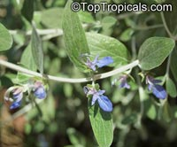 Teucrium fruticans, Tree Germander  Click to see full-size image