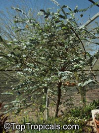 Eucalyptus sp., Eucalyptus  Click to see full-size image
