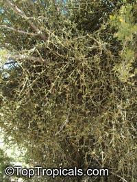 Phoradendron californicum, Desert Mistletoe, Mesquite MistletoeClick to see full-size image