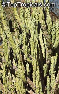 Lophocereus schottii monstrosus, Totem Pole Cactus  Click to see full-size image
