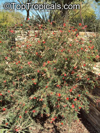 Calliandra californica, Baja Fairy Duster  Click to see full-size image